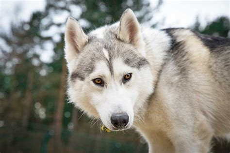 of thrones breed of bones charity braced for influx of wolf lookalike breeds following