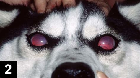 glaucoma in dogs canine glaucoma clinician s brief
