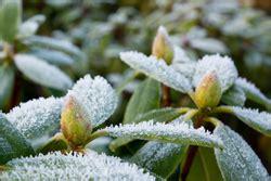 rhododendron winterfest machen garten aktive rentner de 187 magazin f 252 r rentner senioren und alle