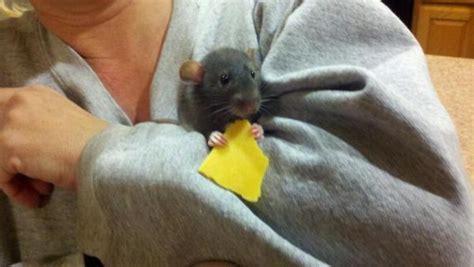 dumbo rat breed information   thriftyfun