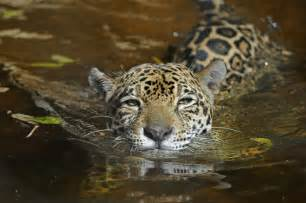 Photos Of Jaguar Jaguars Wcs Org