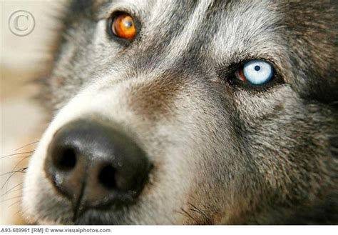 heterochromia in dogs 54 best heterochromia iridum images on animals different colored and