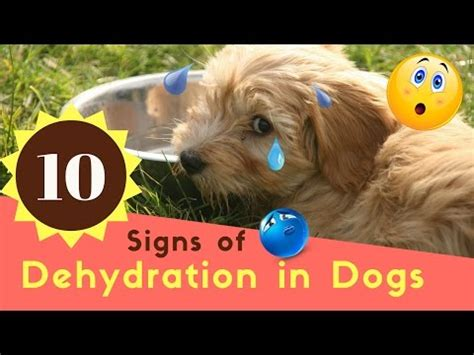 signs of dehydration in dogs how do i if my is dehydrated s health doovi