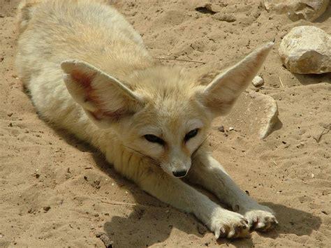 fennec fox wildlife the wildlife