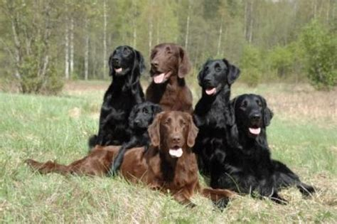 libro the flat coated retriever flatcoated retriever