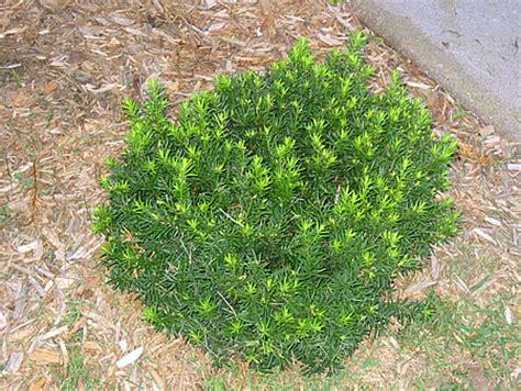 yew shrub pruning images