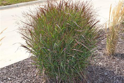 shenandoah switch grass is a popular ornamental grass