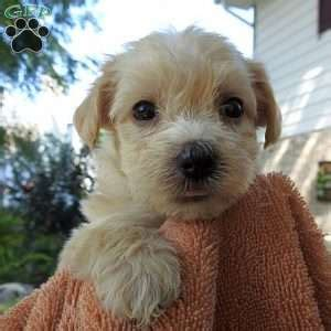 yorkie poo pa yorkie poo puppies for sale from loving breeders greenfield puppies