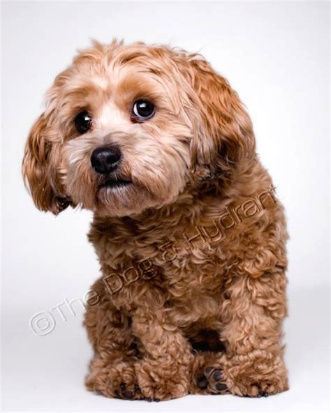 goldendoodle puppy itching best 25 cockapoo ideas on goldendoodle