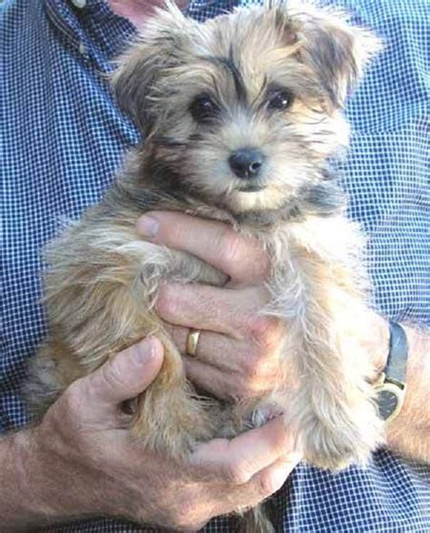 yorkie maltese mix 17 best images about hoarder on maltese puppies yorkie and dalmatians