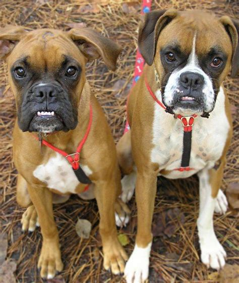8 Cool Breeds by Best 25 Boxer Dogs Ideas On Boxer Boxer