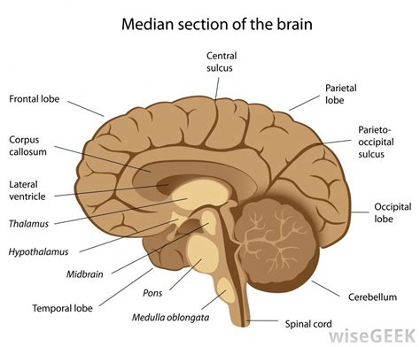different sections of the brain what are the different parts of the medulla oblongata