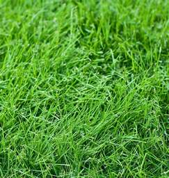 tall fescue turf type