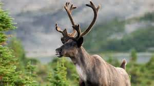 Flowers Vancouver Bc - alberta poised to sell endangered caribou habitat