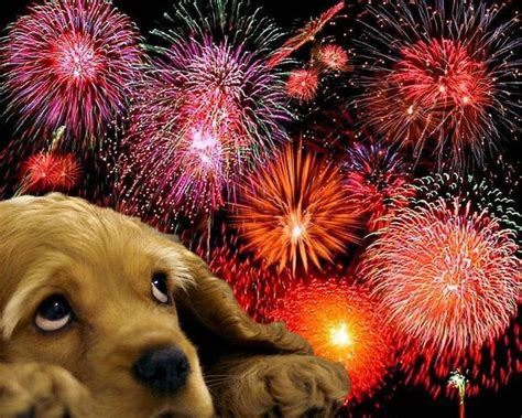 dogs and fireworks pets and fireworks in woking and camberley wag n woof walking