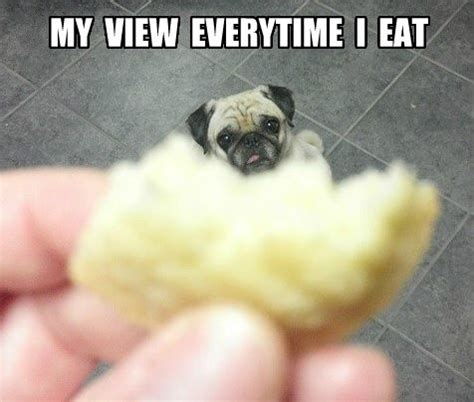 Funny Pug Memes - funny pug dog meme pun funny pictures sayings pinterest