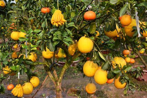 5 fruit tree unique multi fruit bearing trees talk