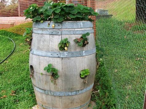 Strawberry Barrel Planter by Strawberry Barrel Home Ideas