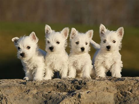westies dogs lil whisperer and feisty the west highland terrier