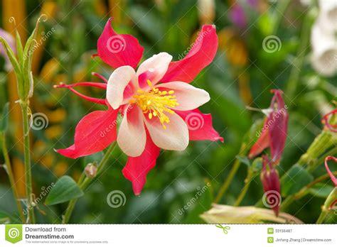 columbine flowers royalty free stock photography image 33156487