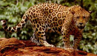 How Many Jaguars Are Left In The World Jaguar Facts Big Cat Rescue