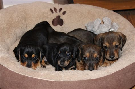 mini doxie puppies for sale mini dachshund smooth haired puppies for sale high wycombe buckinghamshire pets4homes