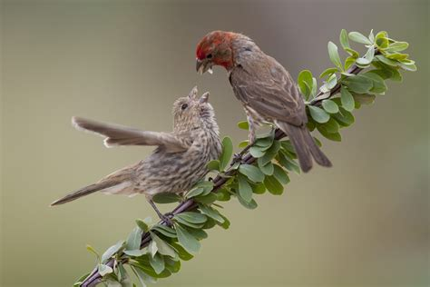 baby house finch pictures house finches and house sparrows celebrate urban birds