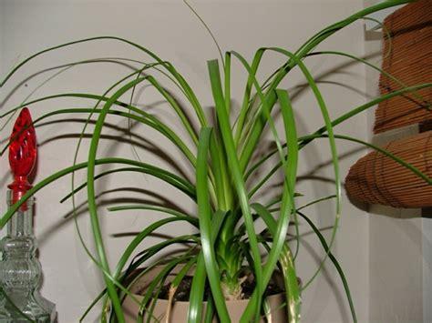 palmenarten zimmerpflanzen palme zimmerpflanze innenarchitektur und m 246 belideen