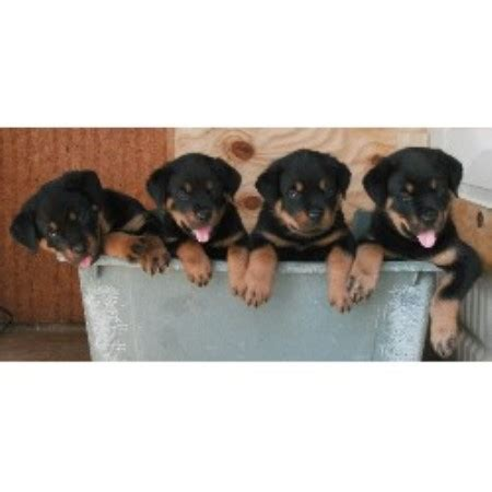 rottweiler breeders in tennessee simmons rottweilers rottweiler breeder in mosheim