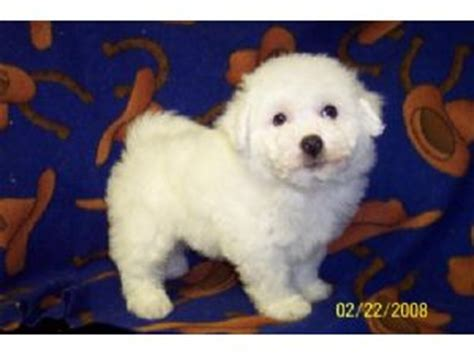 bichon frise puppies for sale in michigan bichon frise puppies in michigan