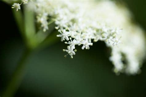 wann holunder schneiden roter holunder 187 pflanzen pflegen schneiden und mehr