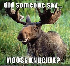 Moose Knuckle Meme - moose knuckle quotes on pinterest camels