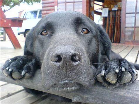 aspergillosis in dogs aspergillosis in dogs a destructive sinus nasal disease