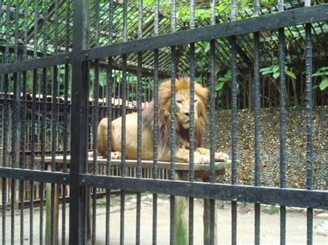 imagenes de leones en zoologico file panthera leo le 243 n zool 243 gico sim 243 n bol 237 var costa