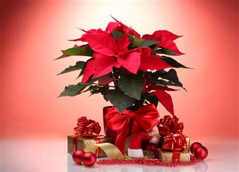 imagenes navideñas de nochebuenas banco de im 193 genes 20 im 225 genes de nochebuenas flores de