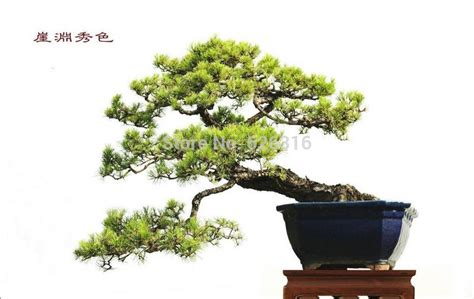 japanese house plants 50pcs lot japanese black pine seeds potted plants