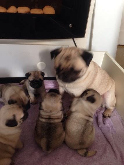 singapore pug club sell dogs sell puppies buy and sell dogs ads buy and sell dogs ads free puppies