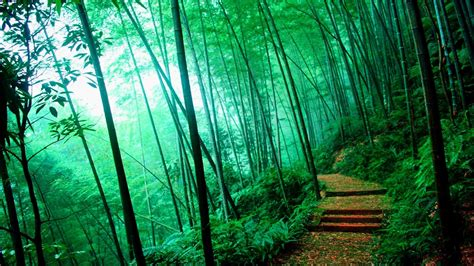 hike themes hd bamboo forest bamboo forest hd desktopmobile wallpaper