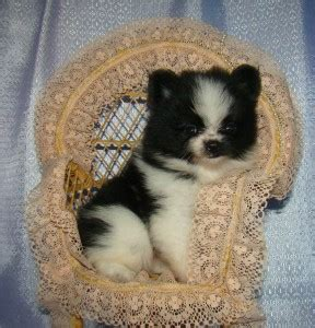 pomeranian puppies for sale adelaide and lovely pomeranian puppies for adoption adelaide dogs for sale puppies