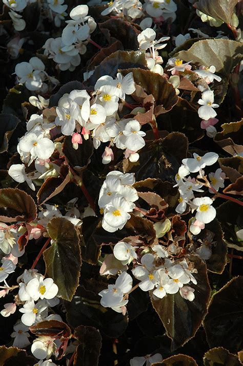 babywing white bronze leaf begonia begonia babywing
