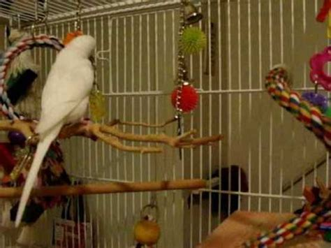 necessity of placing toys in bird cages featheredaddictions