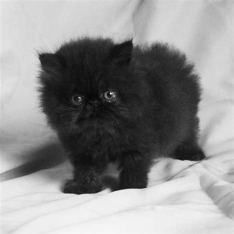 Sho Kucing Di Petshop bagaimana memilih kucing yang bagus