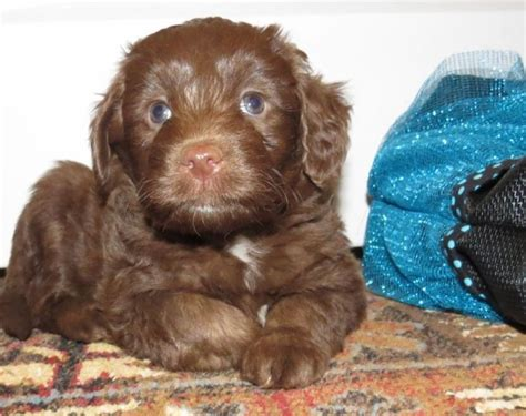 mini aussiedoodle puppies for sale near me miniature aussiedoodle aussiedoodle mini aussiedoodles breed breeds picture