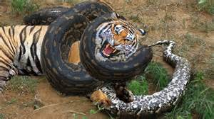 Tiger Vs Jaguar Fight Python Vs Tiger Fighting To Python Vs Tiger Real