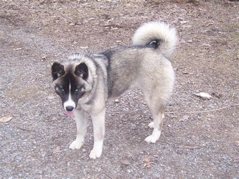 akita husky mix puppies for sale brown and white dogs breeds picture