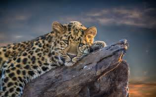 Leopard backgrounds wallpapers backgrounds images art photos