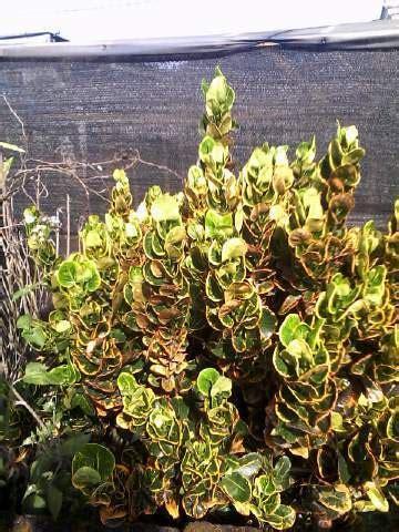 Jual Bibit Bunga Mawar Di Makassar jual tanaman puring mawar bibit