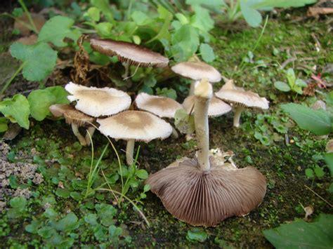 funghi da giardino determinazione funghi in giardino forum natura