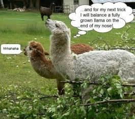 funny llamas llamas pinterest funny llama llamas