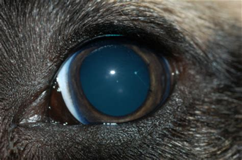 dilated pupils in dogs dilated pupils in dogs driverlayer search engine